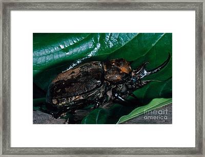 Rhinoceros Beetle Framed Print by Dante Fenolio