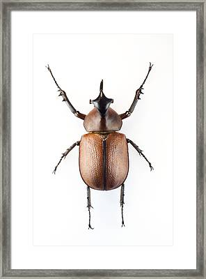 Rhinoceros Beetle Framed Print by Lawrence Lawry