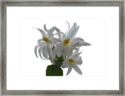 Rhipsalidopsis Framed Print by Terence Davis