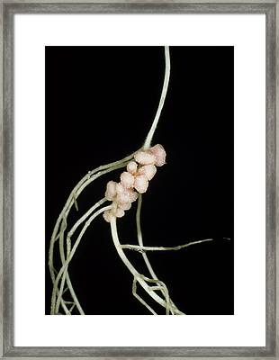 Rhizobium Leguminosarum Root Nodules Framed Print by Dr.jeremy Burgess