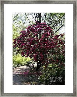 Rhodendron Shrub Framed Print by Christiane Schulze Art And Photography