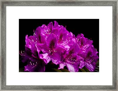 Rhododendron Framed Print by David Patterson
