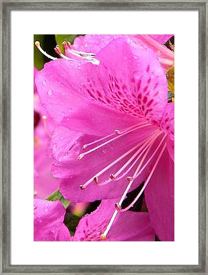 Rhododendron Flower Framed Print by Manuela Constantin