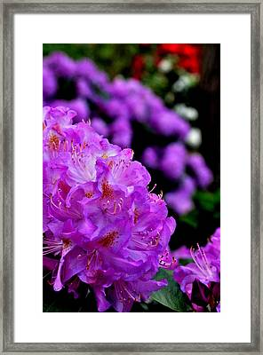 Framed Print featuring the photograph Rhododendron  by Puzzles Shum