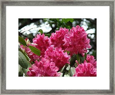 Rhododendrons Garden Art Prints Pink Rhodies Floral Framed Print