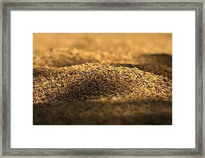 Rice Pady Framed Print by Nabil Kannan