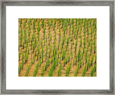 Rice Plants Framed Print by Bjorn Svensson