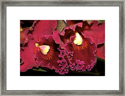 Rich Burgundy Orchids Framed Print by Phyllis Denton