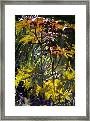 Ricinus Communis 'gibsonii' Framed Print by Dr Keith Wheeler