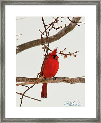 Righteous Cardinal Framed Print