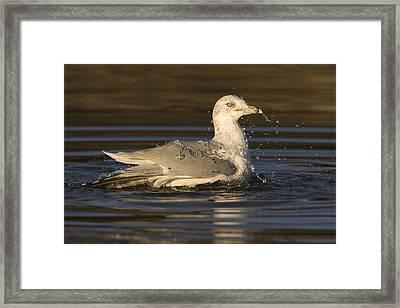 Ring Billed Gull  In Breeding Plumage Framed Print by Sebastian Kennerknecht