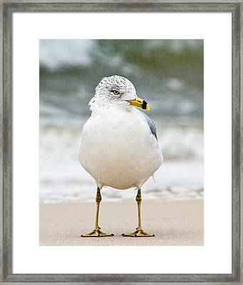 Framed Print featuring the photograph Ring-billed Gull by Susi Stroud