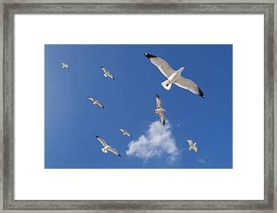 Ring Billed Gulls Overhead Framed Print by Patrick M Lynch