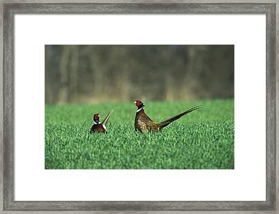 Ring-necked Pheasant Phasianus Framed Print by Konrad Wothe
