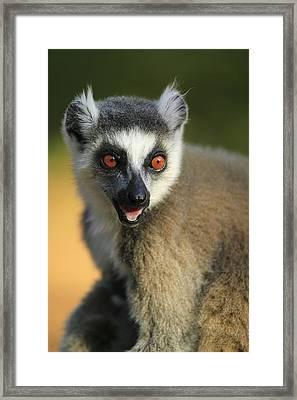 Ring-tailed Lemur Calling Framed Print