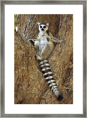Ring-tailed Lemur In A Tree Framed Print