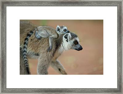 Ring-tailed Lemur Lemur Catta Baby Framed Print