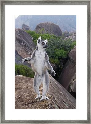 Ring-tailed Lemur Lemur Catta Male Framed Print
