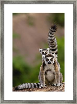 Ring-tailed Lemur Lemur Catta Mother Framed Print by Pete Oxford