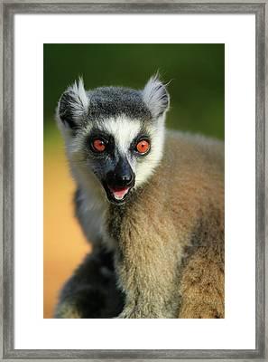 Ring-tailed Lemur Lemur Catta Portrait Framed Print by Cyril Ruoso