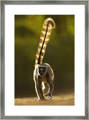 Ring-tailed Lemur Lemur Catta Walking Framed Print by Pete Oxford