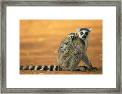 Ring-tailed Lemur Mother And Baby Framed Print by Cyril Ruoso