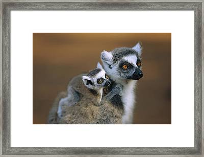 Ring-tailed Lemur Mother Carrying Baby Framed Print by Cyril Ruoso