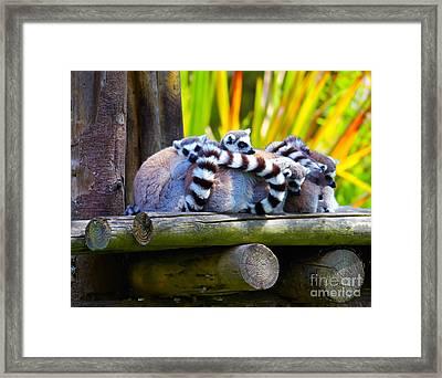Ring-tailed Lemurs Framed Print