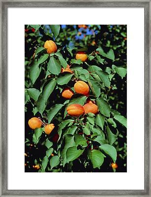 Ripe Apricots Growing On A Branch Framed Print by Kaj R. Svensson