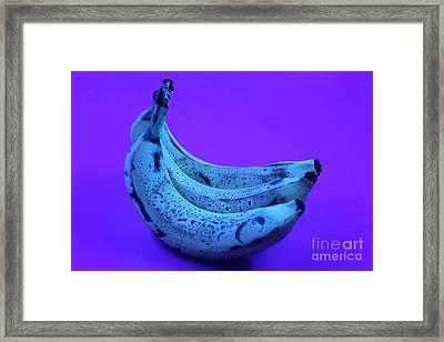 Ripe Bananas In Uv Light 22 Framed Print by Ted Kinsman