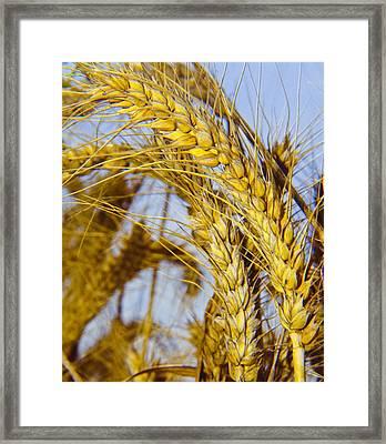 Ripe Barley Framed Print by Daniel Blatt