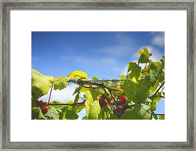 Ripening On The Vines Framed Print by Steven Ainsworth