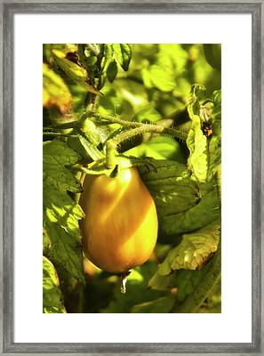 Framed Print featuring the photograph Ripening Roma by Albert Seger