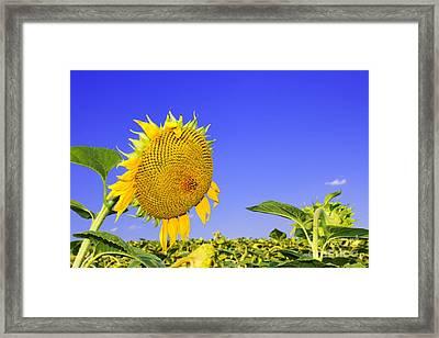 Ripening Sunflower Head  Framed Print by Volodymyr Chaban