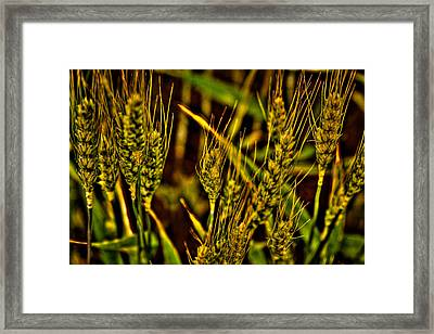 Ripening Wheat Framed Print by David Patterson