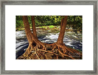 River And Roots Framed Print by Elena Elisseeva
