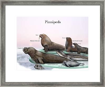 Robben-hundsrobben-ohrenrobben-walroesser-zeerovdieren-oorrobben-zeehonden-pinipedos-pinipede-seler Framed Print by Nature-Interpretation-Panels - Naturlehrtafeln - Schautafeln Maassen-Pohlen