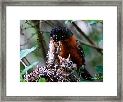 Robin Feeding Young 1 Framed Print by Terry Elniski