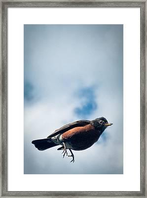 Robin Framed Print by Jason Heckman