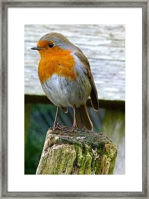 Robin Framed Print by Karen Grist