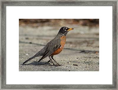 Robin Framed Print by Lisa Phillips