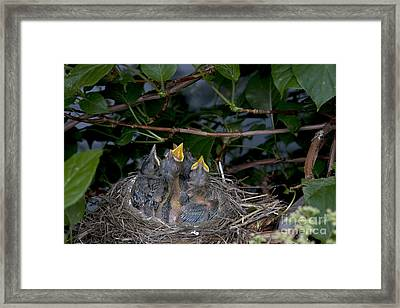 Robin Nestlings Framed Print by Ted Kinsman