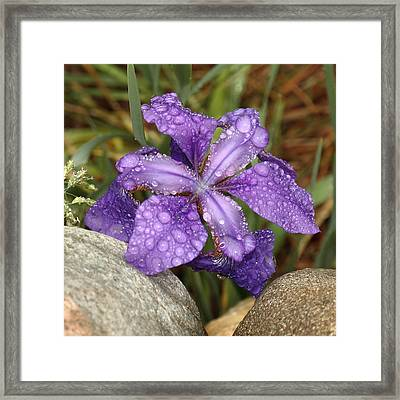 Rock Iris Framed Print by Coby Cooper