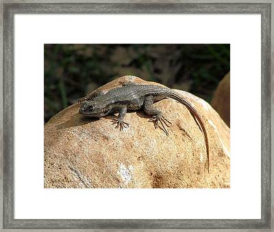Rock Lizard Framed Print