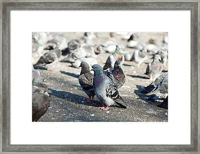 Rock Pigeons Framed Print by Georgette Douwma