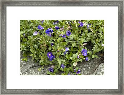 Rock Speedwell (veronica Fruticans) Framed Print by Bob Gibbons