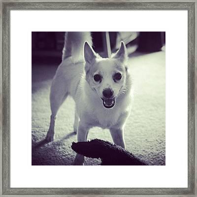 Rocko ! #cutedog #pet #puppy #play Framed Print