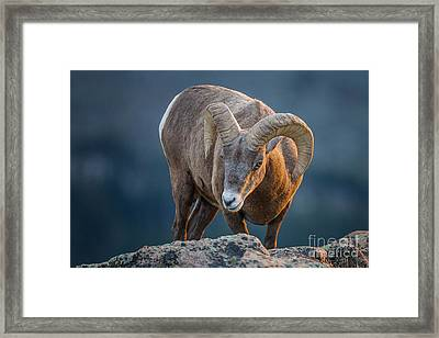 Rocky Mountain Big Horn Ram Framed Print