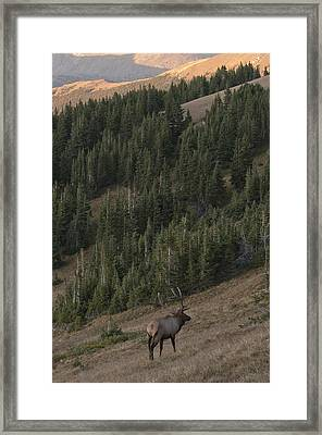Rocky Mountain Elk Framed Print