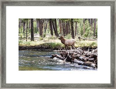 Rocky Mountain Elk Framed Print by Cindy Singleton